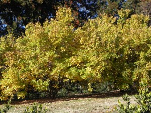 Fall Foliage Color of Fringe Tree