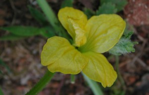 Flower of Cantaloupe Melon