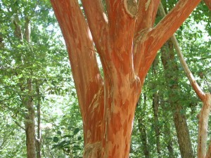Japanese Crepemyrtle Photo