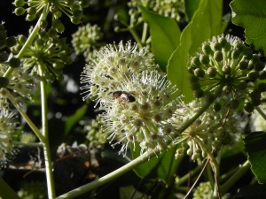 A Bee and Flowers of Japanese Fatsia