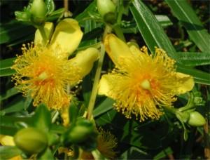 Flower of Kalm St. Johnswort