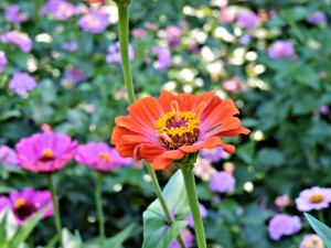 Flower of Zinnia
