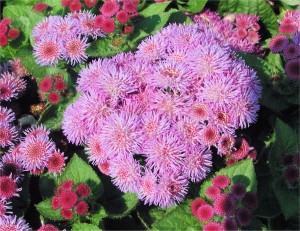 Beautiful Ageratum