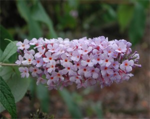 Flowers of Butterfly Bush