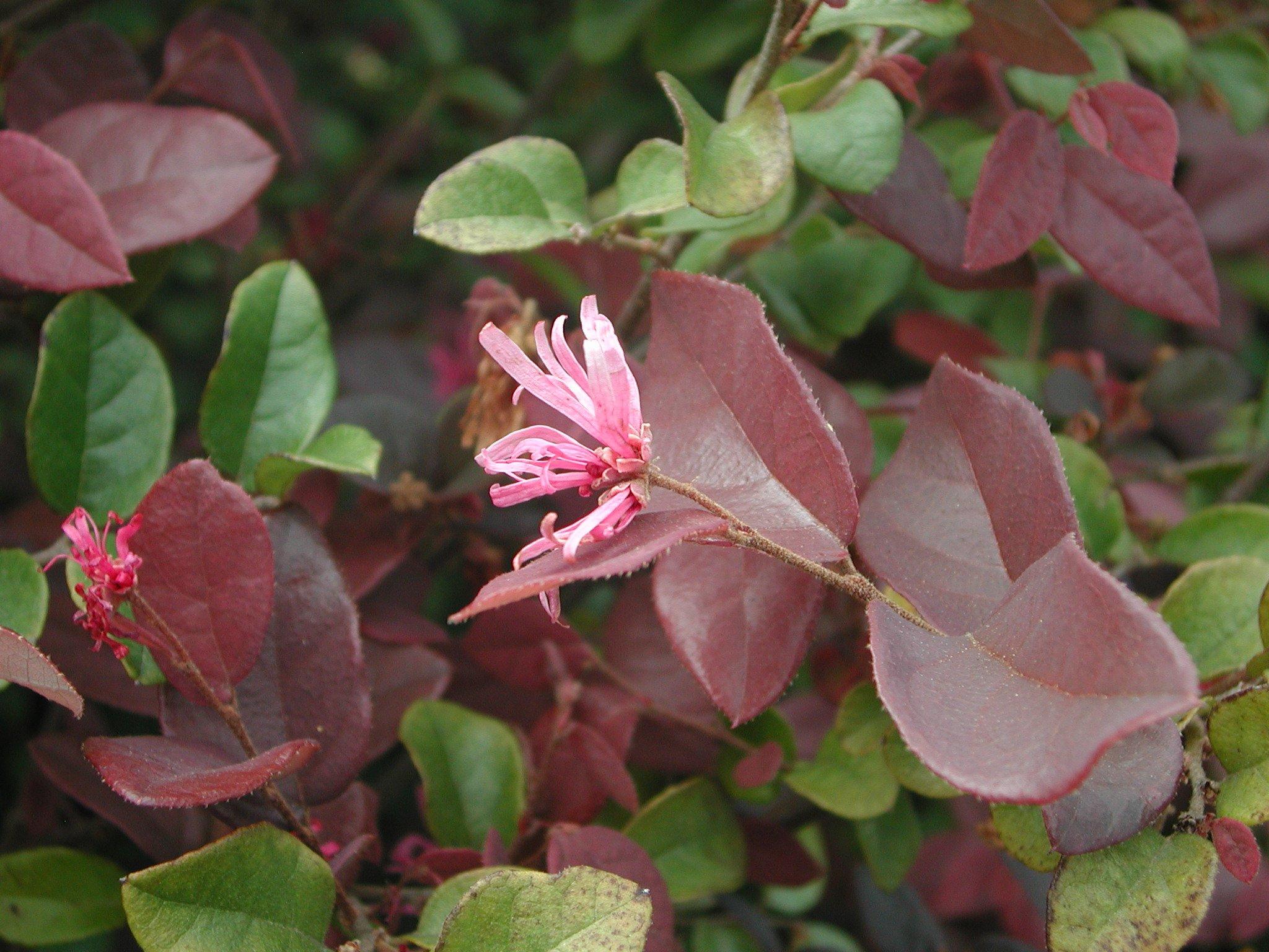 Chinese Fringe Flower