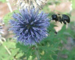 Globe Thistle and a Bumble Bee