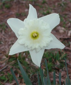 White Doffodil (Narcissus) Flower
