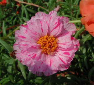 Pink Spotted Portulaca