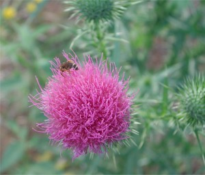 Thistle and a Honey Bee