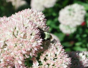 Bumble Bee and Autumn Fire Stonecrop