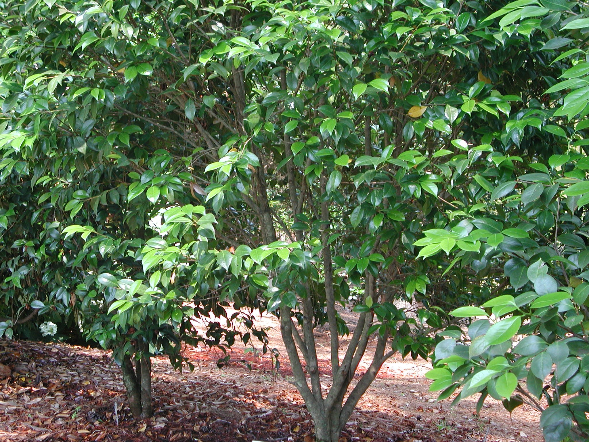 Types Of Camellia Trees Bing Images