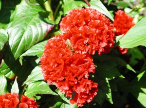 Red Cocks Comb Flowers