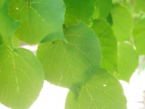 Leaves of Crimean Linden