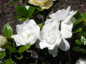 Flowers of Gardenia - Crown Jewel