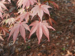 Japanese Maple - Moonfire