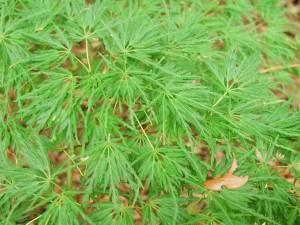 Japanese Maple - Seiryu