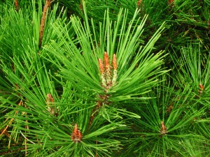 Leaves of Japanese Red Pine