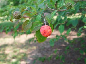 Fruit of Kousa Dogwood