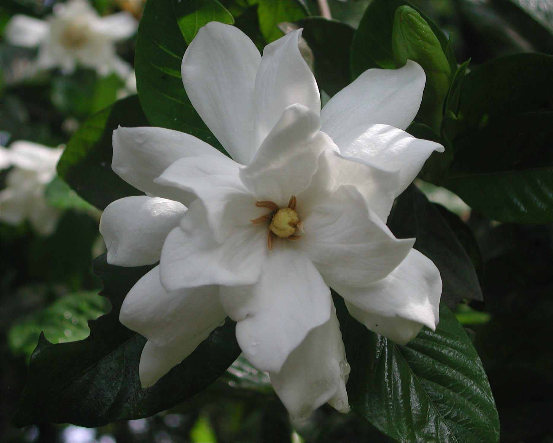 gardenia flower  nature photo gallery, Natural flower