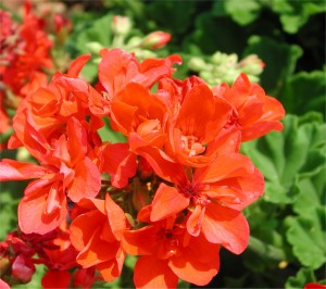 Flowers of Geranium