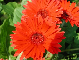 Flower of Gerbera Daisy