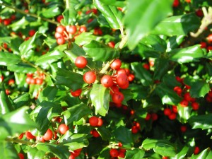 Red Berries of China Girl Holly