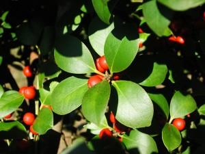 Nepal Holly