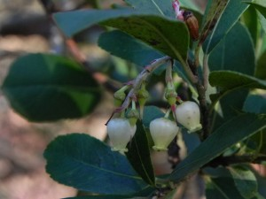 Tiny Flowers of Strawberry Tree