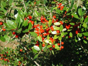 Berries of Yaupon Holly