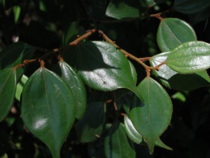 Evergreen SpiceBush