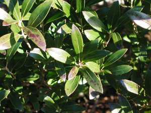 Inkberry Holly