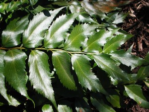 Leaves of Japanese Holly Fern