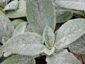 Fuzzy Lamb's Ear Leaves