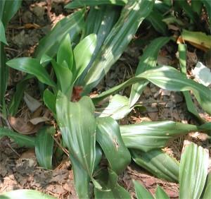 Sacred Lily