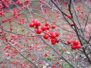 Berries of Winterberry Holly