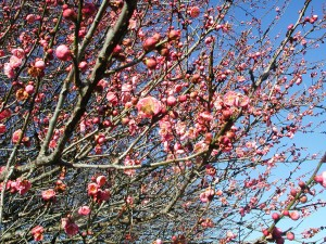 Pink Flowers of Japanese Apricot
