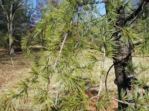Leaves of Deodar Cedar
