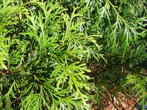 Leaves of Incense Cedar