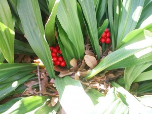 Red Berries of Sacred Lily