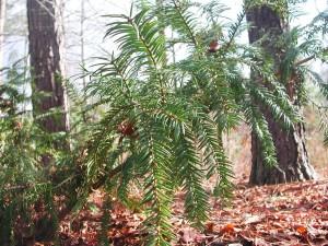 Stinking Cedar