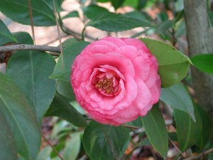 Pink Flower of Japanese Camellia