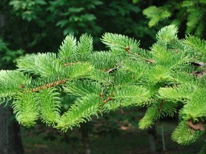 Tiger Tail Spruce
