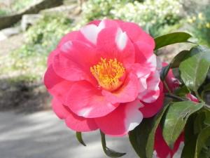 Japanese Camellia Flower