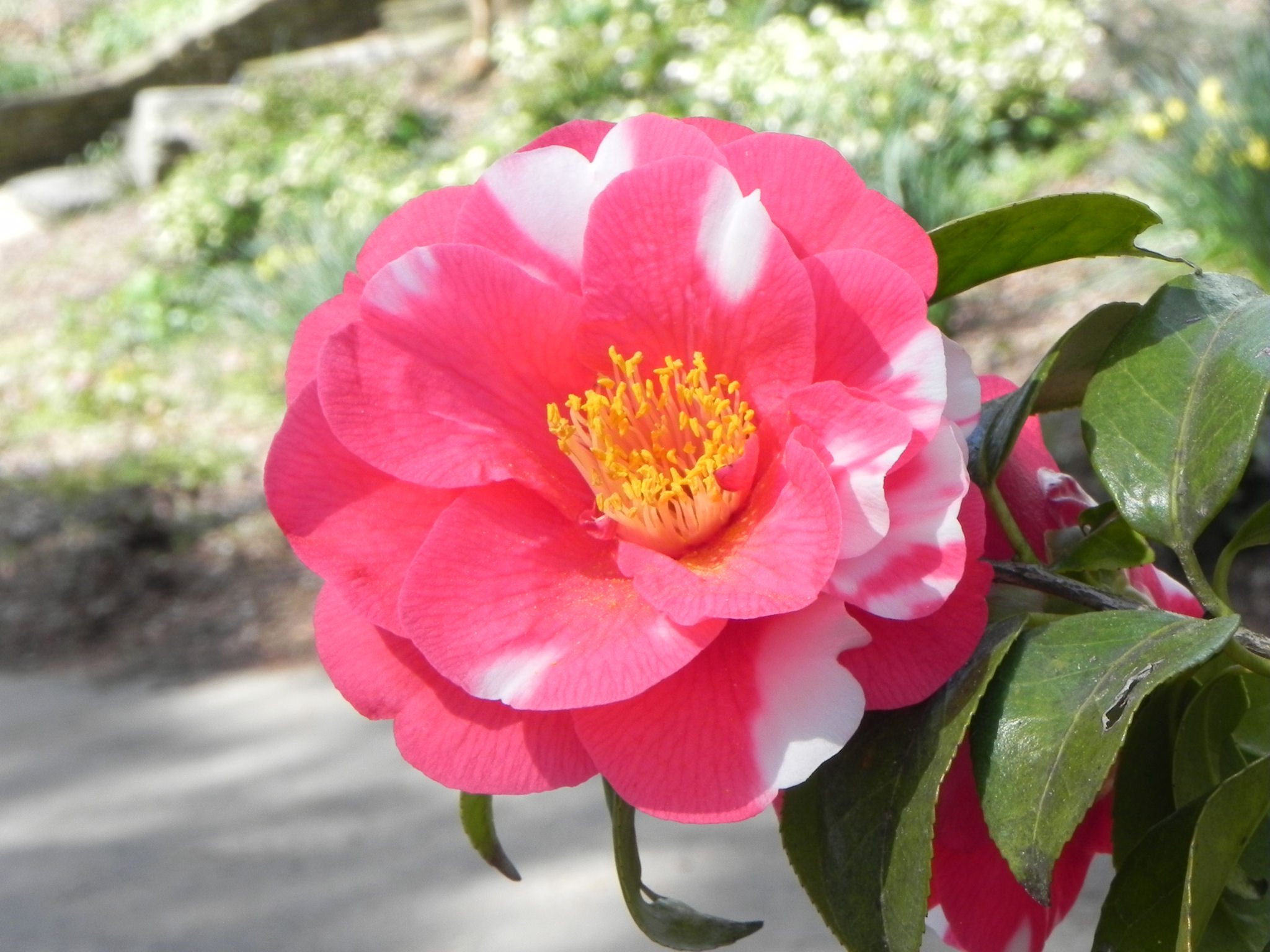Japanese Camellia Tree with Flowers