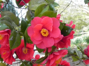 Red Japanese Camellia Flowers