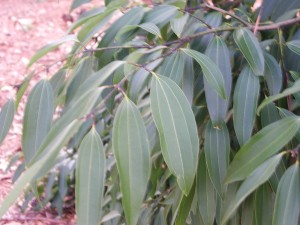 Leaves of Camphor Tree