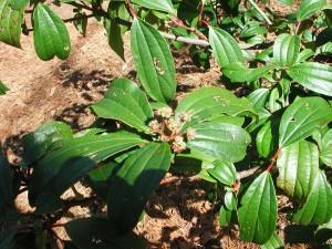 Buds of Cinnamon Leaf Viburnum