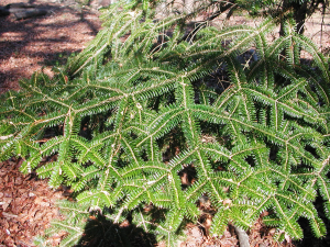 A Kind of Fir