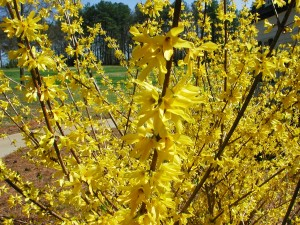 Flowers of Forsythia
