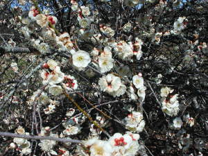White Flowers of Japanese Apricot